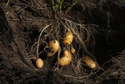 Kartoffelernte 1