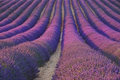 Lavendelfeld - lavender field 31