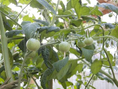 frankfurterGarten_tomate