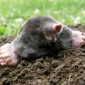 Laughing mole crawling out of molehill