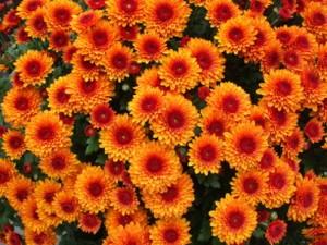 Herbstblumen Chry