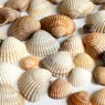 Many small seashells on a white background