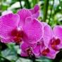 rosa Orchideenblüte
