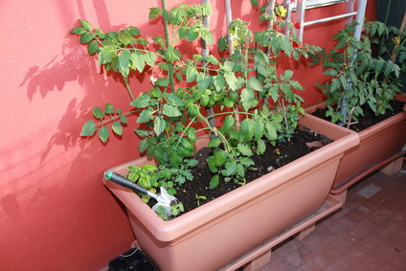 vegetable garden on the terrace of a house with tomato plants