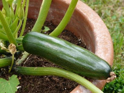 Zucchini - Balkonia