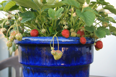 Erdbeere - Balkonia