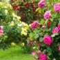 Rosenstrauch, verschiedene Sorten von Rosen im Garten
