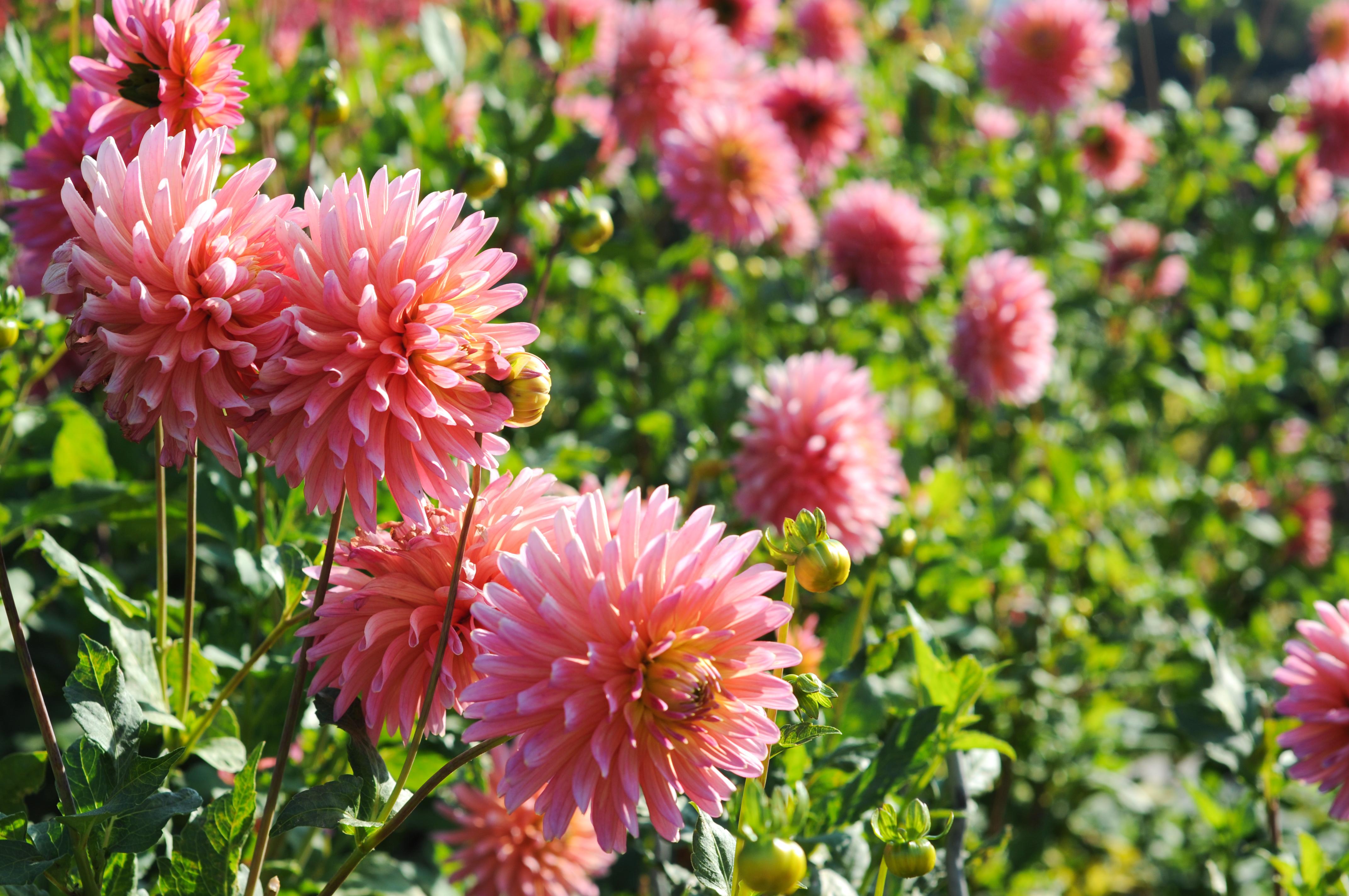 Dahlien. Zarte Blume. Natur Farben